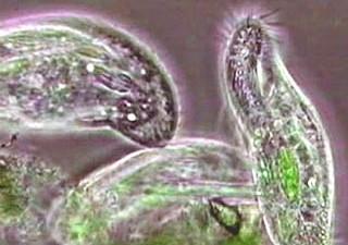 Protozoa pic